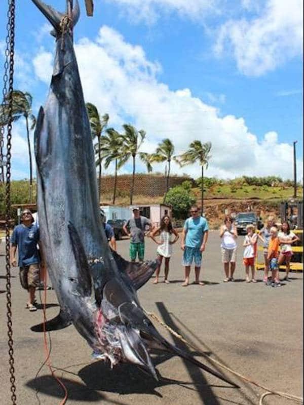 Legendary Marlin caught on Kauai