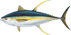 Yellow Fin Tuna, Ahi